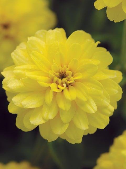 Zinnia, Double Zahara Yellow