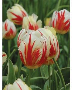 Tulip, Carnaval de Rio