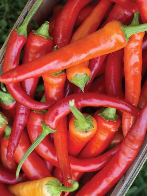 Pepper,Sweet,Sweet SavourHybrid