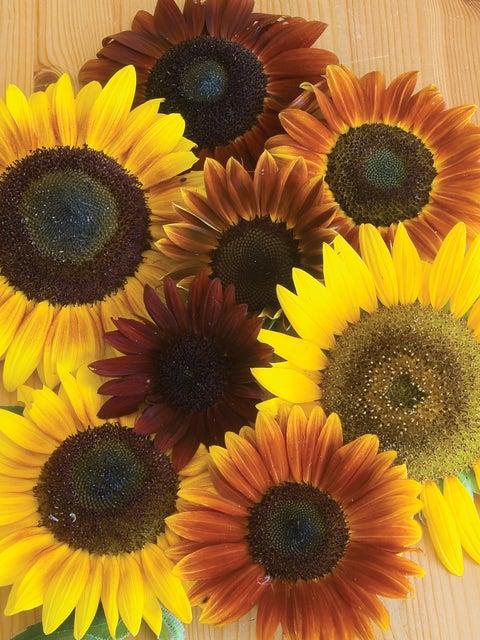 Sunflower, Autumn Beauty Mix Organic
