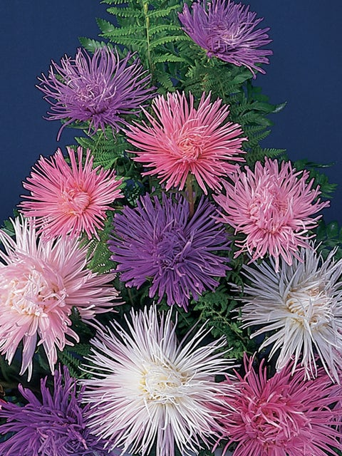 Aster, Fireworks Mixed Colors