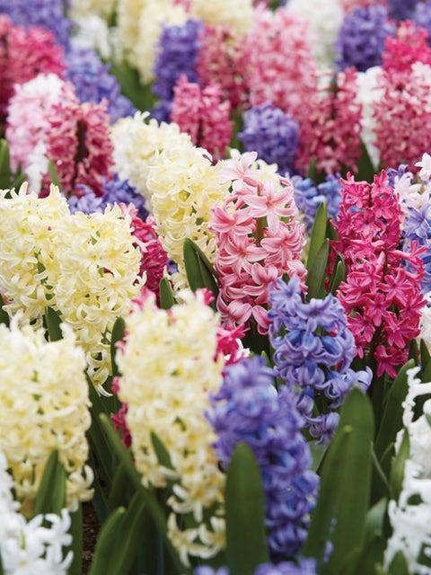 Hyacinth, Mix