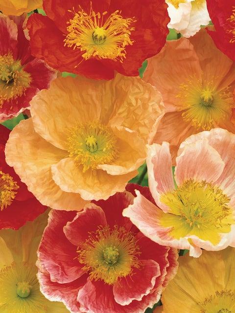 Poppy, Meadow Pastels