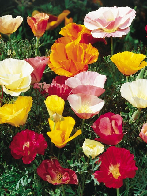 California Poppy, Sunset Mixed Colors