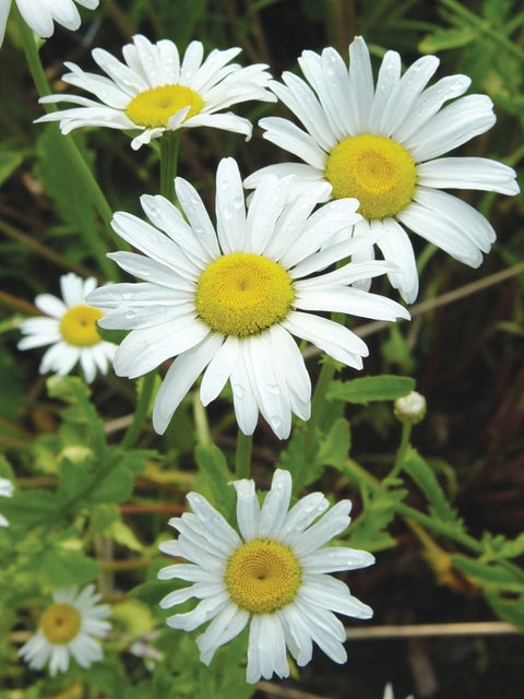 Shasta Daisy, Snow Lady