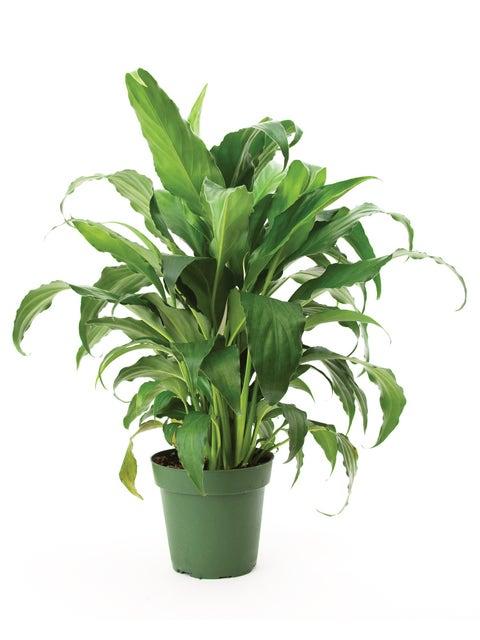 Spathiphyllum, Sweet Chico