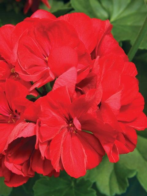 Geranium, Calliope Dark Red
