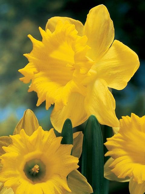 Daffodil, Dutch Master