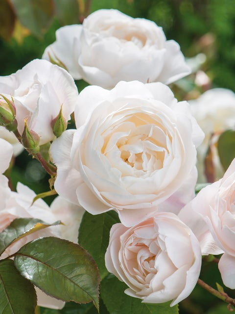 Rose, Desdemona