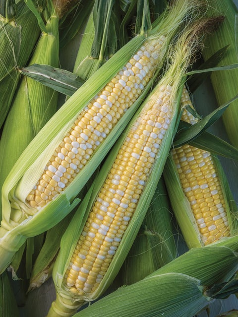 Corn, Nirvana Hybrid