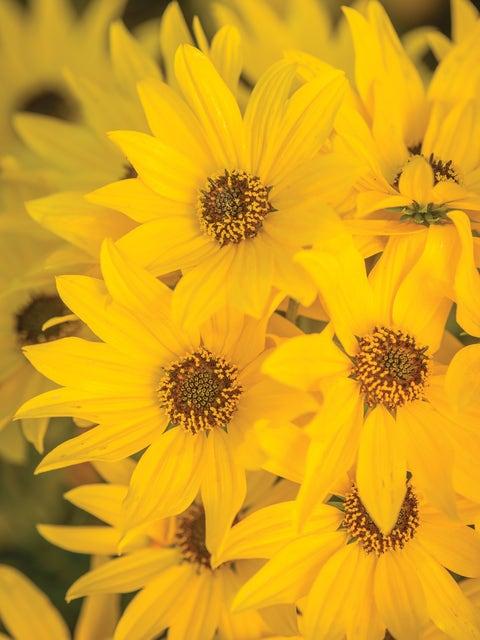 Helianthus, Autumn Gold