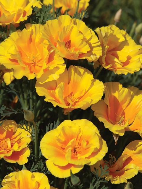 California Poppy, Yukon Gold
