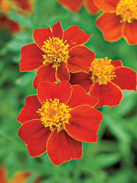 Marigold, Cottage Red