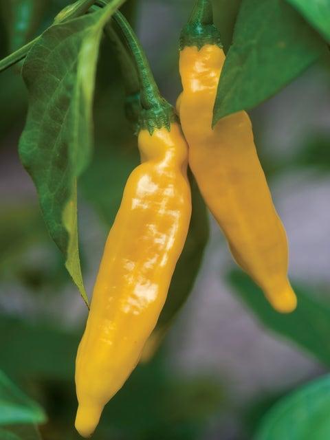 Pepper, Hot, Lemon
