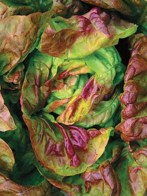 Lettuce, Yugoslavian Red