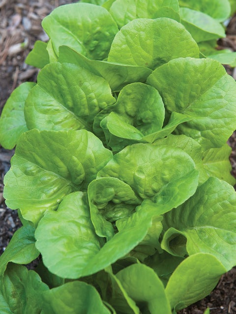 Lettuce, Burpee Bibb