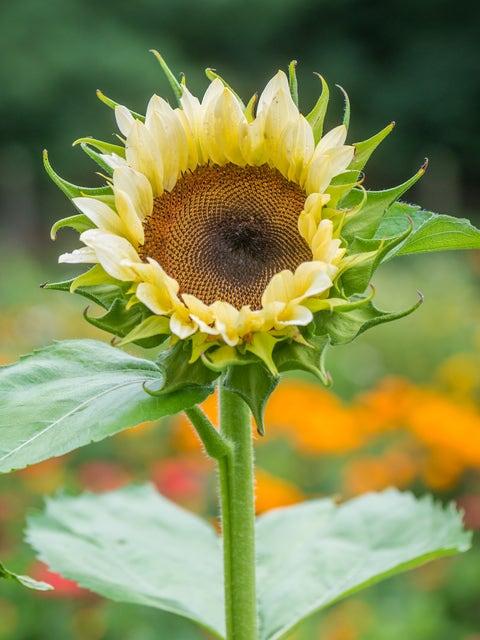 Sunflower, ProCut White Nite