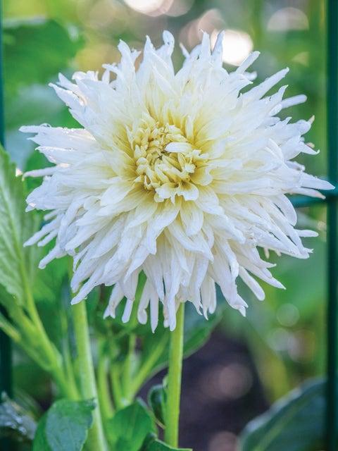 Dahlia, White Star