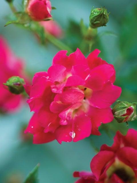 Rose, Red Drift