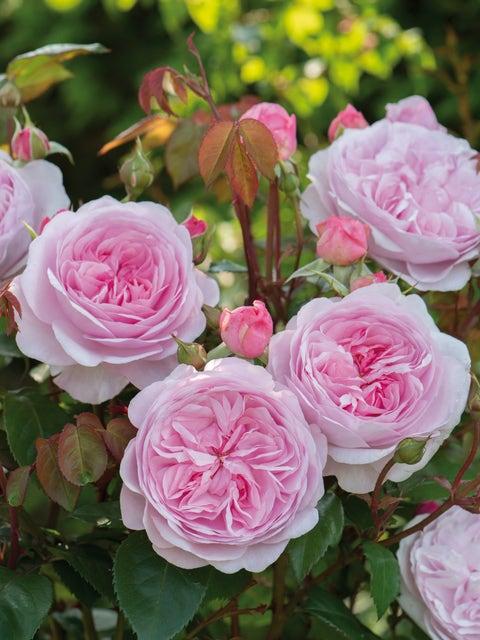 Rose, Olivia Rose Austin