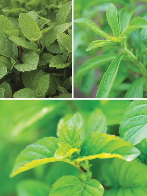 Herb Collection, Mint Julep