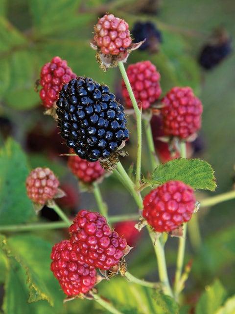 Blackberry, Baby Cakes