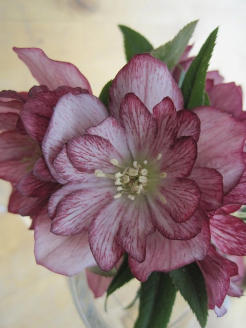 Hellebore, Stained Glass