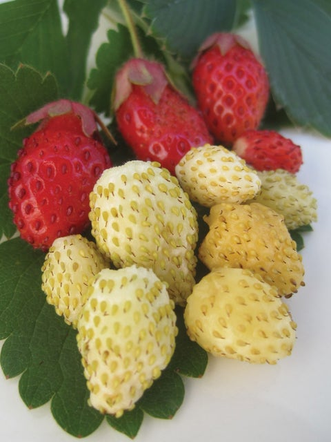 Strawberry, Alpine Collection
