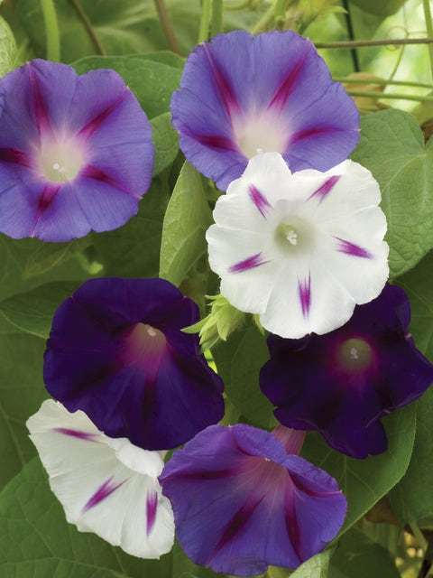 Morning Glory, Celestial Mixed Colors