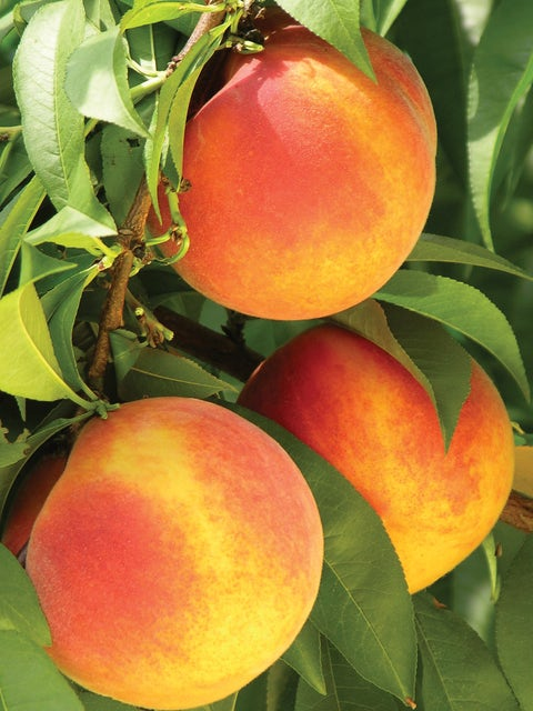 Peach, Gloria