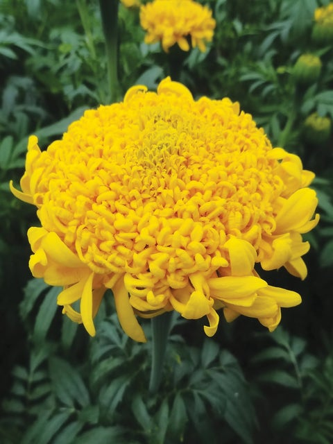 Marigold, Mission Giant Yellow