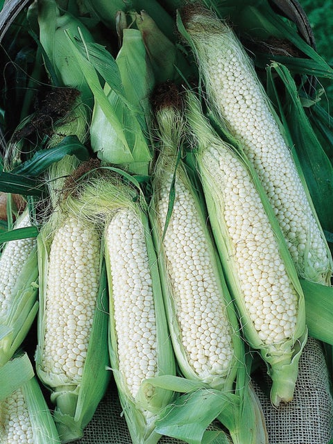 Corn, Country Gentleman