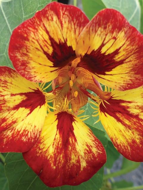 Nasturtium, Orchid Flame