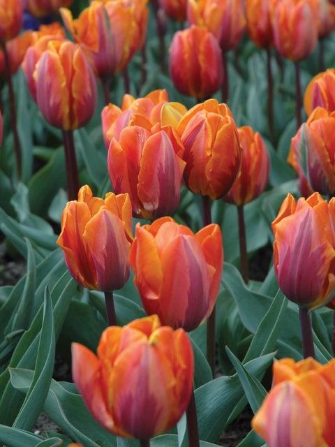 Tulip, Princess Irene