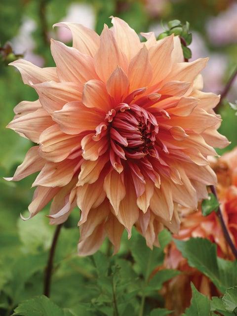 Dahlia, Sherwood Peach