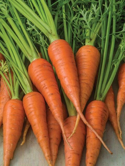 Carrot, Short n Sweet