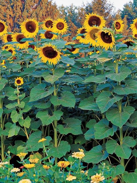 Sunflower, Sunforest Mix