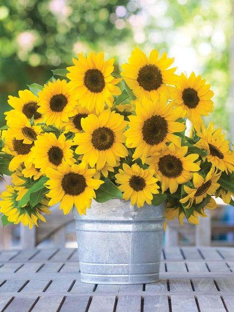 Sunflower, Sunny Bunch