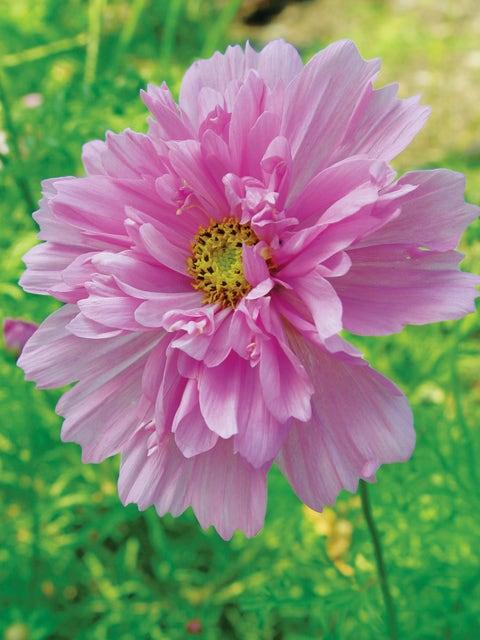 Cosmos, Double Click Bicolor Pink