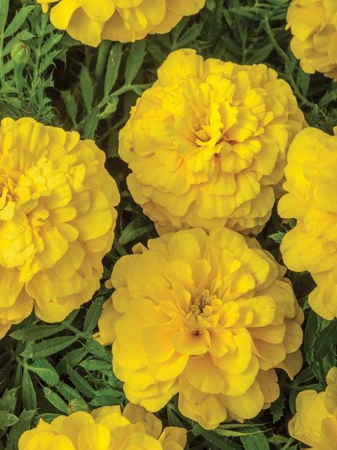 Marigold, Endurance Yellow Hybrid
