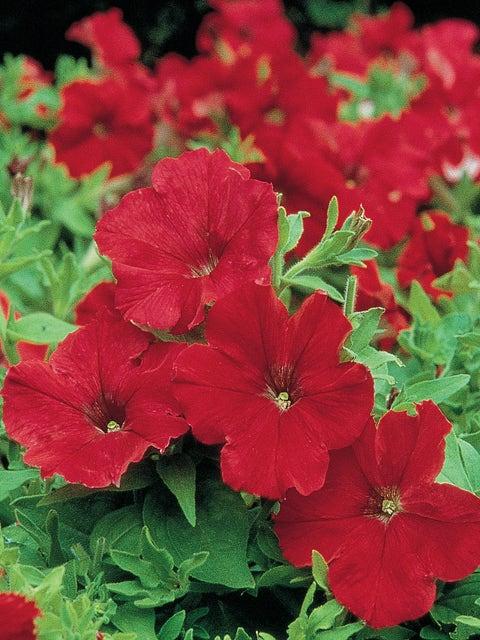 Petunia, Supercascade Red