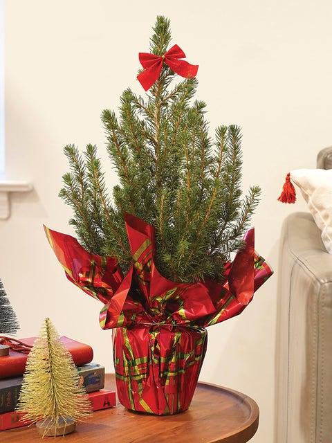 Dwarf Alberta Spruce, Holiday Gift Plant