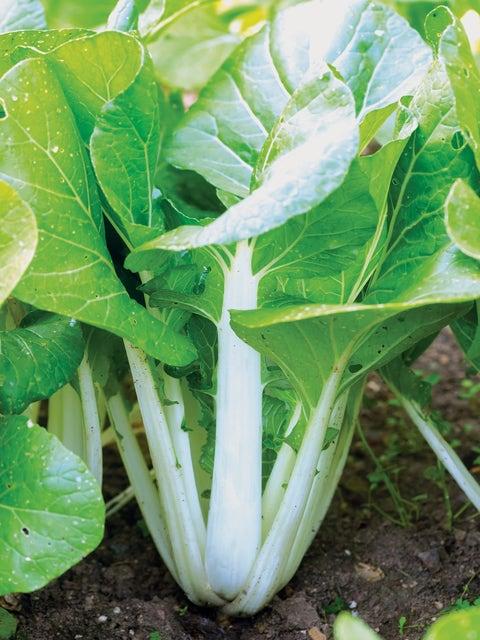 Chinese Cabbage, Pak Choi, White Choi