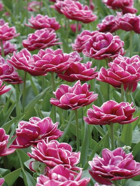 Tulip, Dream Touch
