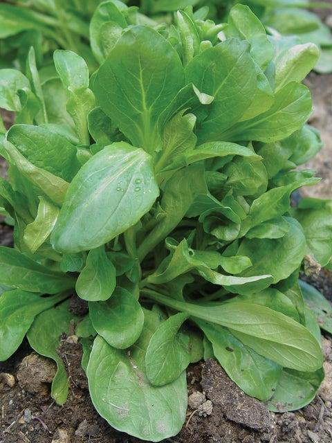 Corn Salad (Mache), DEtampes