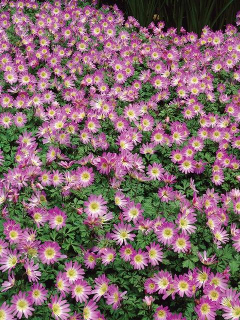 Anemone blanda, Pink Charmer