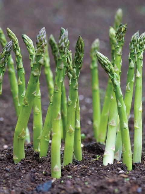Asparagus, Jersey Supreme Hybrid