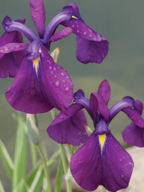 Iris ensata, Variegata