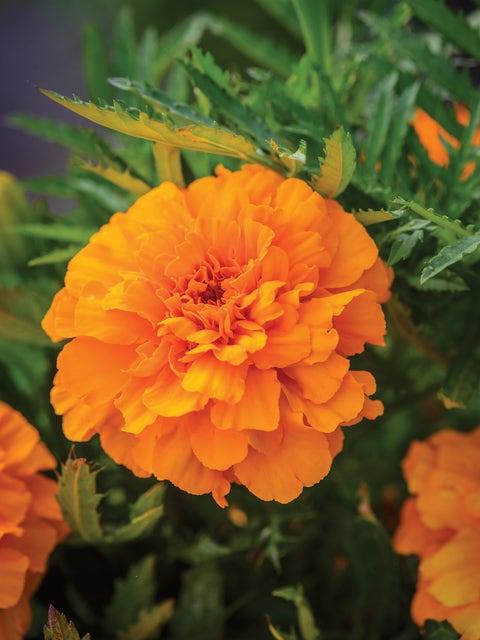 Marigold, Endurance Orange Hybrid