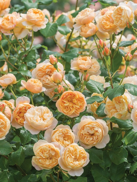 Rose, Roald Dahl